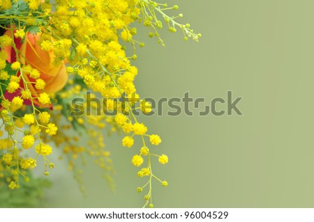 Yellow mimosa, the symbol of International Women's Day. - stock photo