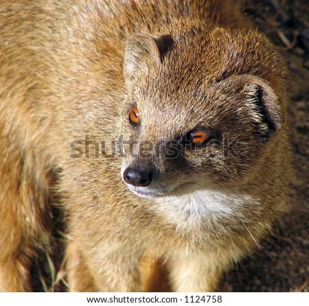 Yellow Mongoose - stock photo