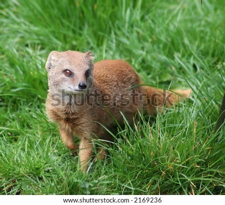 Yellow mongoose (Cynictis pencillata) in green grass - stock photo