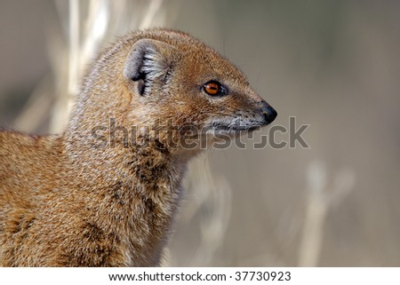 Yellow mongoose profile