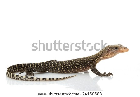 Yellow Monitor Lizard (Varanus flavescens) isolated on white background.