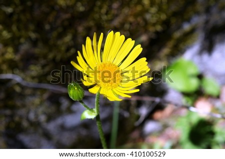 Yellow mountain flower (Arnica montana) - stock photo