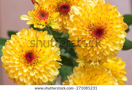 Yellow mum flowers - stock photo