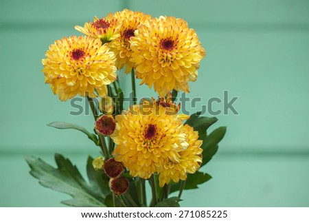 Yellow mum flowers with green background - stock photo