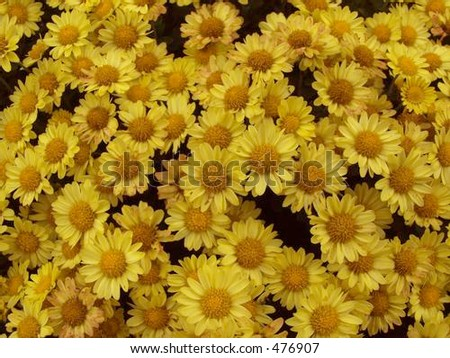 yellow mums - stock photo