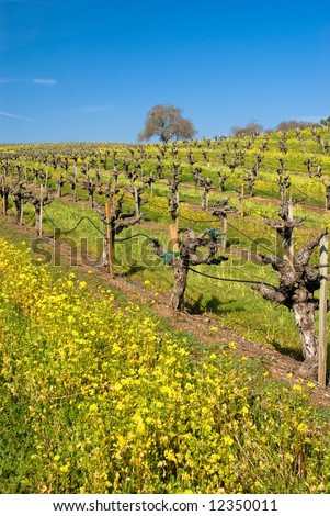 Yellow Mustard bloom in a vineyard in Sonoma, California.