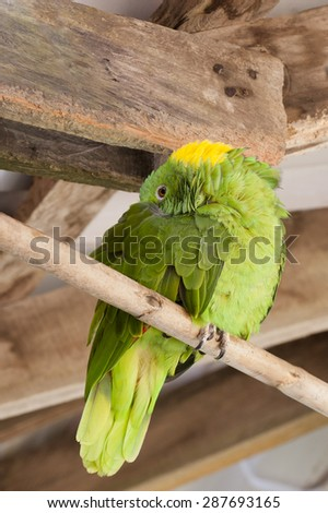 Yellow Naped Amazon Parrot (Amazona auropalliata) sleeps on perch.  Distinguished from other parrots by the yellow feathers on the back of their heads.  Excellent mimics of  animals and humans. - stock photo