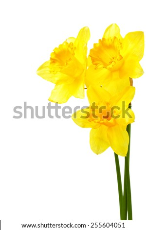 Yellow narcissi isolated over the white background with copyspace - stock photo