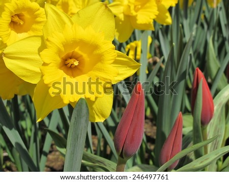 yellow narcissus and buds of red tulips - stock photo