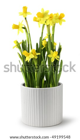 Yellow narcissus bunch with fresh green leaves in white ceramic pot