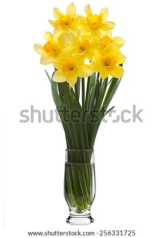 Yellow narcissus flower isolated on white - stock photo