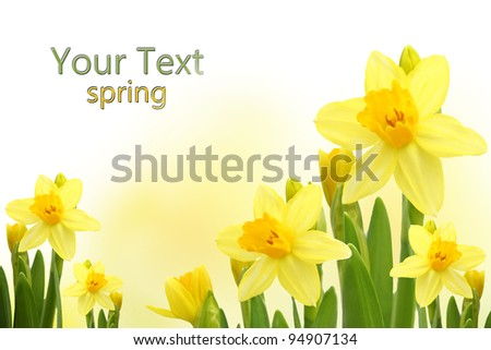 Yellow narcissus flowers.