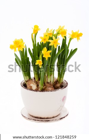 yellow narcissus isolated on a white background - stock photo