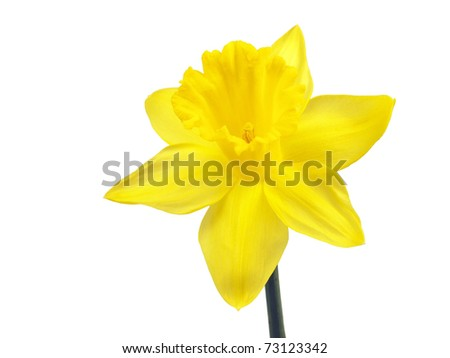 Yellow narcissus on a white background - stock photo