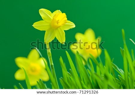 yellow narcissus on green background - stock photo