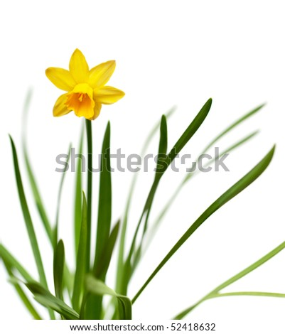 Yellow narcissus on spring glade isolated on white background - stock photo