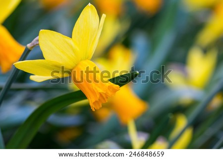 yellow narcissus - one of the first spring flowers - stock photo