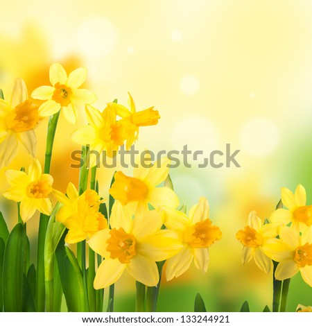Yellow narcissuses against the blue sky - stock photo