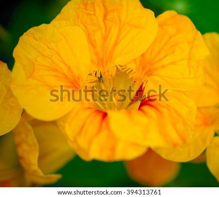 Yellow Nasturtium flower in a garden.  Close up, macro photograph. - stock photo