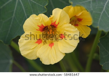 Yellow nasturtium in a garden