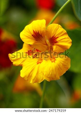 yellow nasturtium in the garden - stock photo