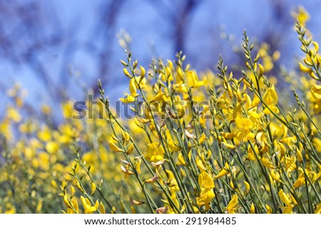 yellow nature flower blooming gorse bright summer background - stock photo