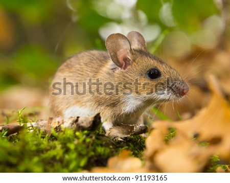 yellow necked mouse in natural habitat - stock photo