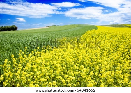 yellow oil rapeseed field in the springtime - stock photo