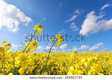 yellow oilseed flower field and blue sky in summer - stock photo