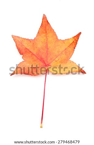 Yellow or orange Maple leaf isolated on white background - stock photo