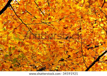 Yellow, orange and red autumn foliage at sunny day - stock photo