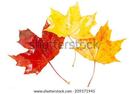 yellow, orange  and red fall maple  leaves isolated on white background