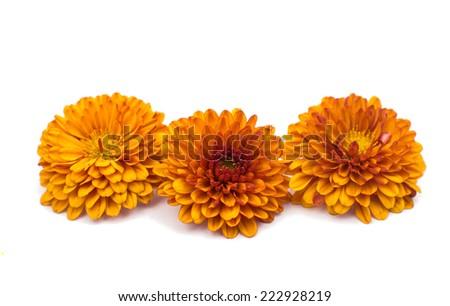 Yellow-orange chrysanthemums on a white background - stock photo