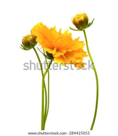 yellow-orange Coreopsis flower isolated on white background - stock photo