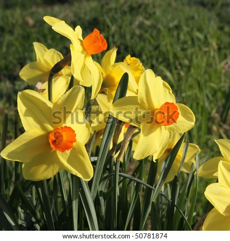 Yellow-orange daffodil - stock photo
