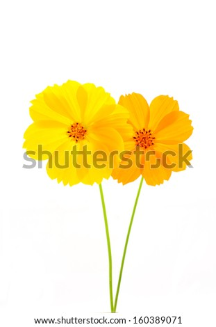 Yellow&Orange flower ( Cosmos flower ) on white background