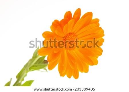 yellow orange marguerite flower isolated on white  - stock photo