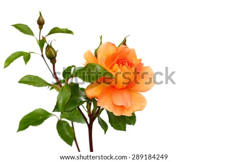 Yellow orange rose on white background - stock photo