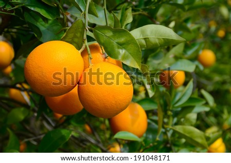 Yellow oranges growing on a tree with green leaves - stock photo