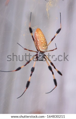 Yellow Orb Weaver Spider hanging on a web - stock photo