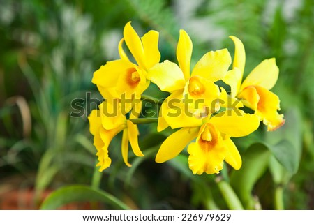 Yellow orchid and green leaves