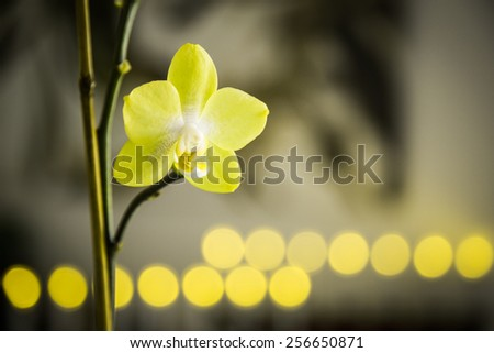 Yellow orchid flower in natural light with yellow bokeh background. - stock photo