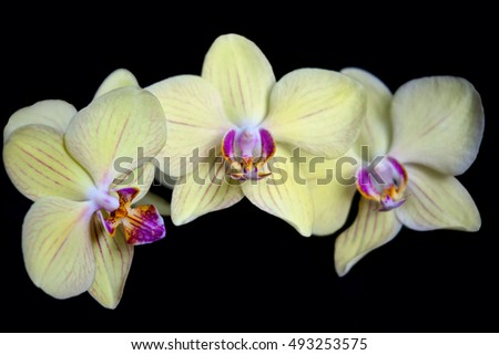 Yellow orchid flower, isolated on black background close up