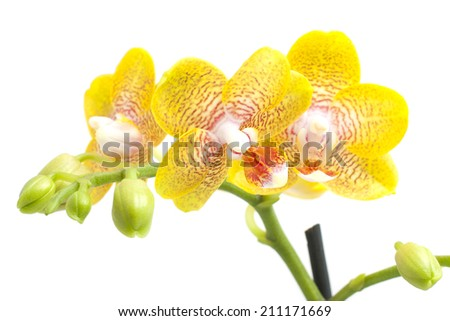 yellow orchid flower on white background - stock photo