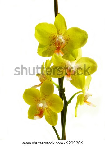 Yellow orchid isolated