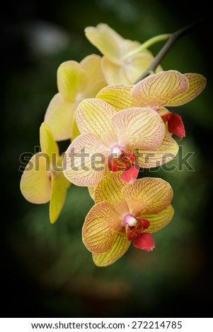 Yellow orchids w dark green background - stock photo
