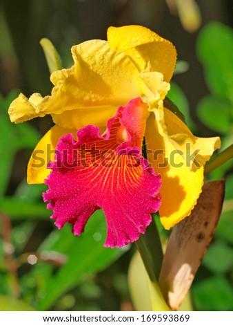 yellow orcid - stock photo