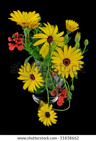 Yellow Osteospermum (Asteroideae) floral arrangement on black background - stock photo