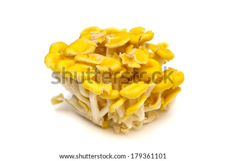 Yellow oyster mushroom-Pleurotus cornucopiae, This image is available for clipping work.  - stock photo