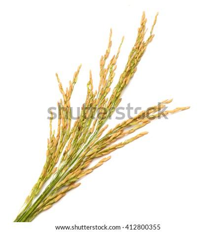 Yellow paddy jasmine rice isolated on white background - stock photo
